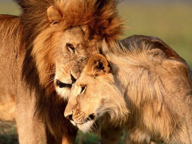 Львица целует льва фото красивые (23)