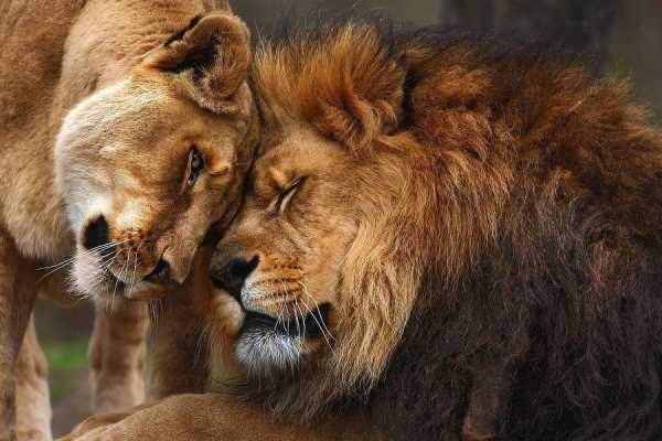 Львица целует льва фото красивые (4)