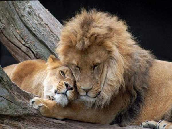 Львица целует льва фото красивые (6)