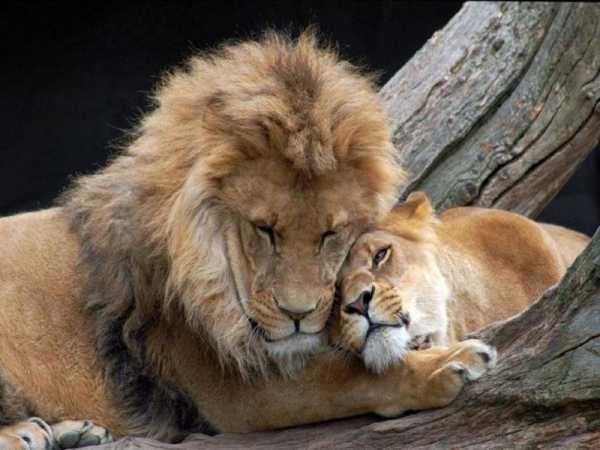 Львица целует льва фото красивые (7)