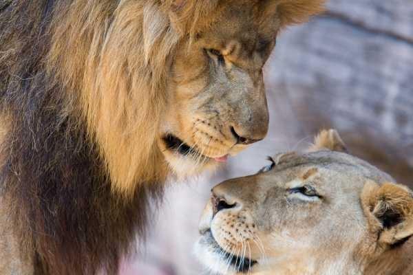 Львица целует льва фото красивые (9)