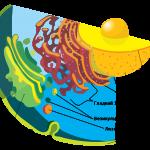 Структура и функции различных клеточных органелл — описание