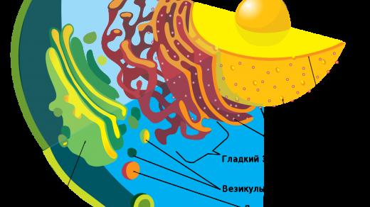Структура и функции различных клеточных органелл